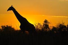 长颈鹿(长颈鹿camelopardalis) 库存照片