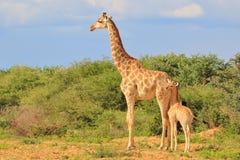 长颈鹿-非洲野生生物背景-爱恋的妈妈 库存图片