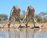 长颈鹿-非洲野生生物-水坑特技飞行 免版税库存照片