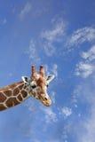 长颈鹿 免版税库存图片