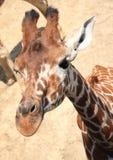 长颈鹿头 免版税库存照片