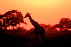 长颈鹿 免版税库存照片