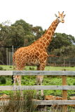 长颈鹿 库存照片