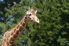 长颈鹿6 免版税库存照片