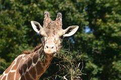 长颈鹿10 免版税库存图片