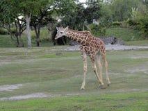 长颈鹿崽 库存图片