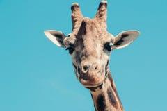 长颈鹿头 免版税库存图片