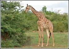 长颈鹿 免版税图库摄影
