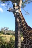 长颈鹿 图库摄影