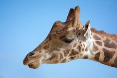 长颈鹿头 免版税图库摄影