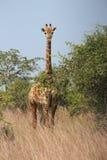 长颈鹿- Kisssama国家公园安哥拉 免版税库存照片