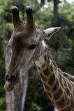 长颈鹿` s头的特写镜头 免版税库存图片