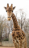 长颈鹿camelopardalis 库存图片