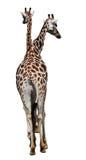 长颈鹿CAMELOPARDALIS ROTHSCHILDI 免版税图库摄影