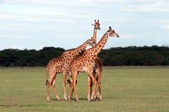 长颈鹿s 库存照片