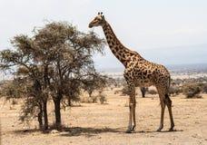 长颈鹿serengeti 免版税图库摄影