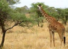 长颈鹿serengeti 库存照片