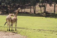 长颈鹿Walhing 图库摄影