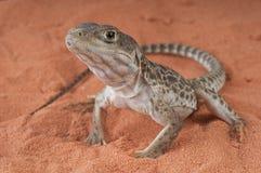 长颚豹子的蜥蜴 免版税库存图片
