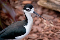 长额嘴的鸟 免版税库存图片