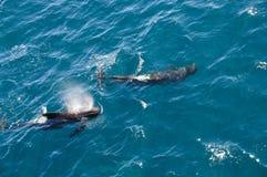长鳍状的圆头鲸 图库摄影