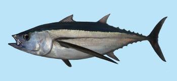 长鳍金枪鱼渔画象 库存图片