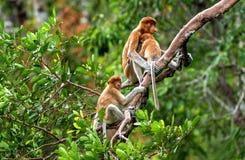 长鼻猴家庭坐树 免版税图库摄影
