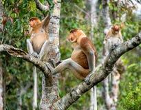 长鼻猴的女性 免版税图库摄影