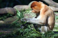 长鼻猴 免版税库存图片