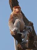 长鼻猴 免版税库存照片