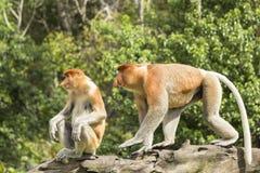 长鼻猴、男性和女性 库存图片