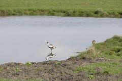 长嘴上弯的长脚鸟在水中 免版税库存图片