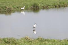 长嘴上弯的长脚鸟在水中 库存照片