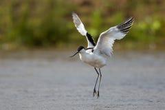 长嘴上弯的长脚鸟着陆在水中 免版税库存照片