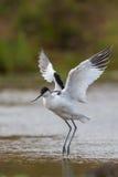 长嘴上弯的长脚鸟着陆在水中 免版税库存图片