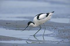 长嘴上弯的长脚鸟, Recurvirostra avosetta 库存照片