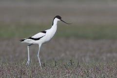 长嘴上弯的长脚鸟avosetta染色recurvirostra 库存图片