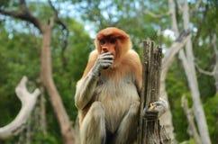 长鼻猴坐根吃 免版税库存图片