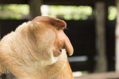 长鼻猴外形,婆罗洲 免版税库存图片