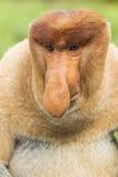 长鼻猴外形,婆罗洲 库存照片