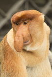 长鼻猴 婆罗洲,马来西亚 免版税库存照片