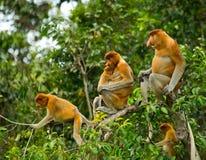 长鼻猴家庭坐在一棵树的在密林 印度尼西亚 婆罗洲加里曼丹的海岛 免版税库存照片