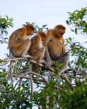 长鼻猴家庭坐在一棵树的在密林 印度尼西亚 婆罗洲加里曼丹的海岛 图库摄影