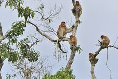 长鼻猴家庭坐在狂放的绿色雨林的一棵树在婆罗洲海岛上 长鼻猴鼻肌larvatu 免版税库存照片