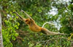 长鼻猴从树跳到树在密林 印度尼西亚 婆罗洲加里曼丹的海岛 免版税图库摄影