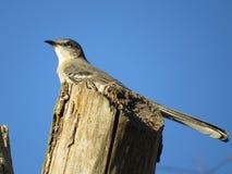 延长他的尾巴的北模仿鸟 库存图片