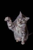 延长他的爪子的灰色虎斑猫 免版税库存图片