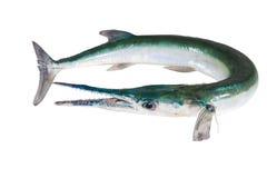 长嘴硬鳞鱼(Belone belone),或者海针,远洋, oceano 库存图片
