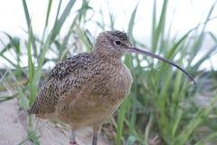 长嘴鸟的麻鹬(美洲的Numenius) 免版税库存照片
