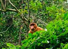 长鼻猴,婆罗洲,马来西亚 库存图片